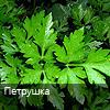 i-petrushka-zelen