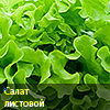 салат зелёный листовой