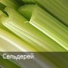 сельдерей